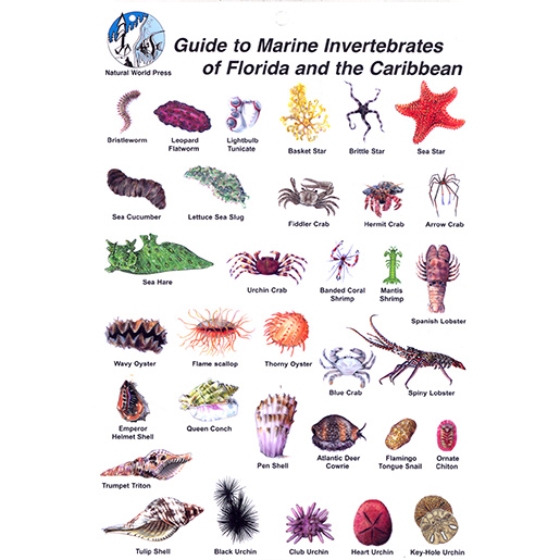 Trident Marine Invertebrates Card for Florida and the Caribbean Sale $5.99 SKU: 15723026 ID# BK24 UPC# 618152003215 :