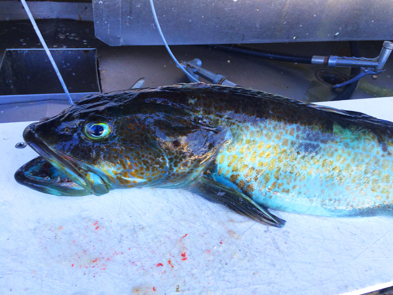 Regional Angling Advice: How to Catch Lingcod in California