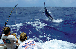 Two anglers reeling in a large black marlin
